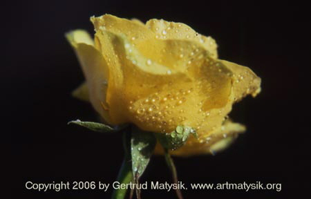 artmytysik-gertrud-matysik-photoart-photo-gm-061226-rose-bluete-gelb-1600-48-8bit-24-bearb4-m